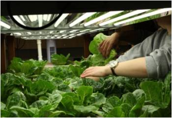 Aquaponic lettuce at Allegheny College